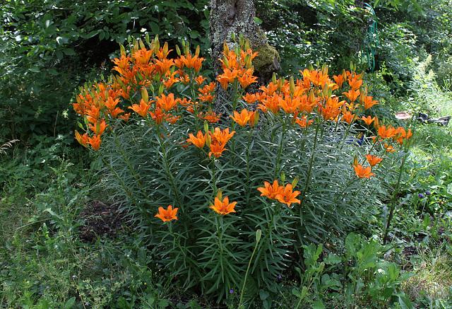 Lilium bulbiferum (3)