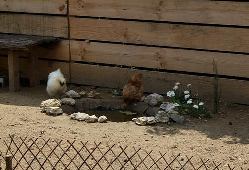 Le Jardin des Poules-Le coin des poules (3)