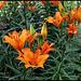 Lilium bulbiferum (4)