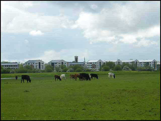 cows on the block