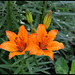 Lilium bulbiferum (5)