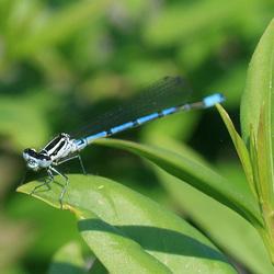 Common Blue Damselfly (Enallagma cyathigerum) Male M23 03