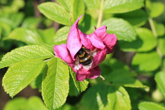 Humble Bee in Rose 01