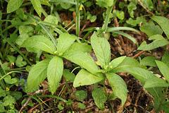 Dog's Mercury Female Plant