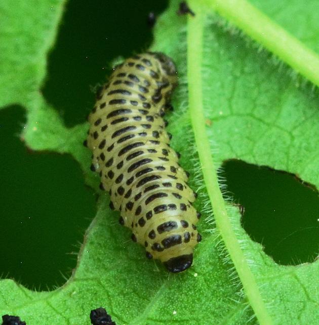 Larva...?