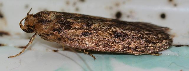 Brown House Moth. Hoffmanphila pseudosprettela