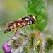 Hover Fly (Episyrphus balteatus).