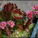 Sempervivum arachnoïdes (2)