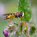 Hover Fly (Episyrphus balteatus).  Turning around to look at me.