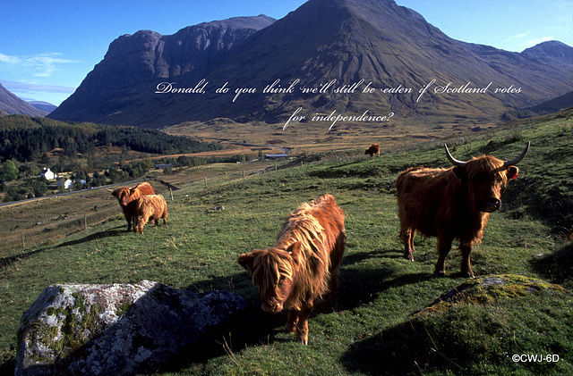 Highland Cattle in countdown to the referendum