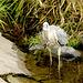 Der Reiher ist unbeindruckt von der wehrhaften Beute und fliegt anschließend zum anderen Ufer, um sie zu fressen