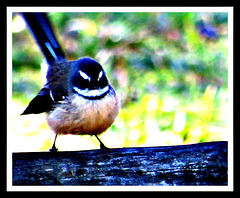 Fantail on a Fence.