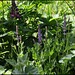 Salvia sylvatica