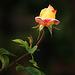 A Rose Bud 1
