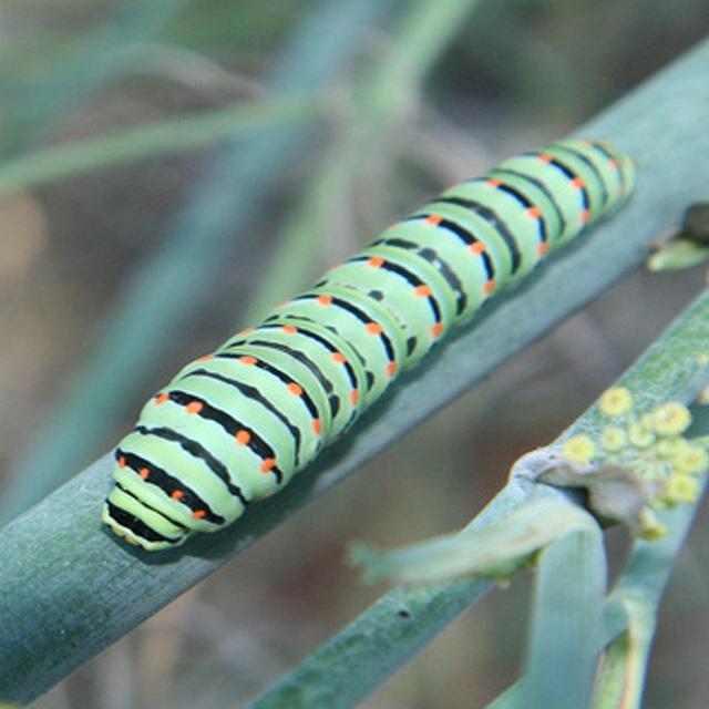 Bruco di (Papilio Machaon).