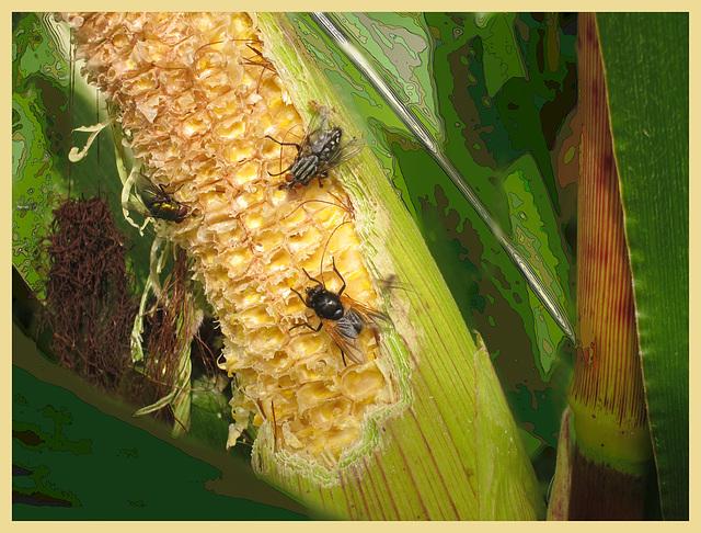 Mais /corn