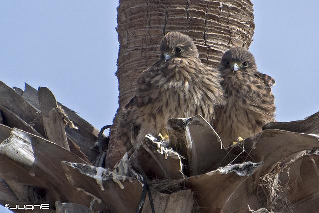 "Cernicalo vulgar (Falco tinnunculus canariensis). ""Nidada"""