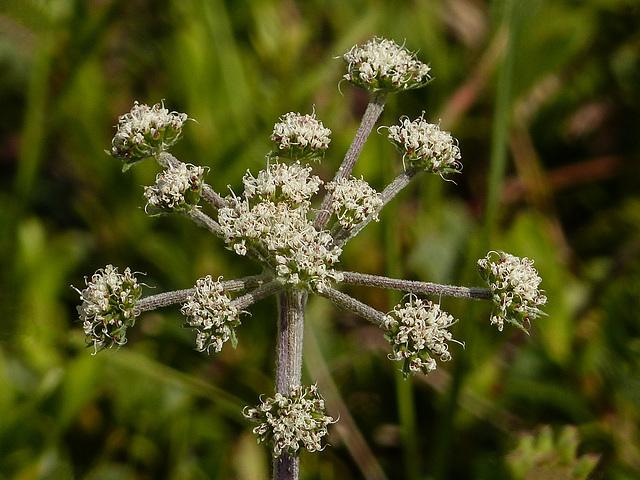 Long-fruited Wild/White Prairie Parsley / Lomatium macrocarpum
