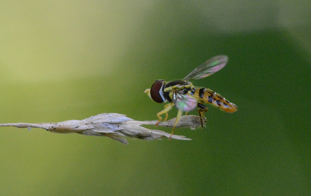 Hoverfly at dusk