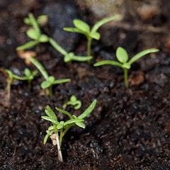 seedlingpoppy