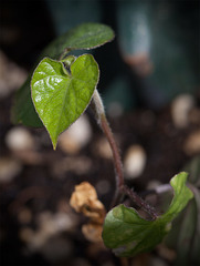 seedlingmorningglory