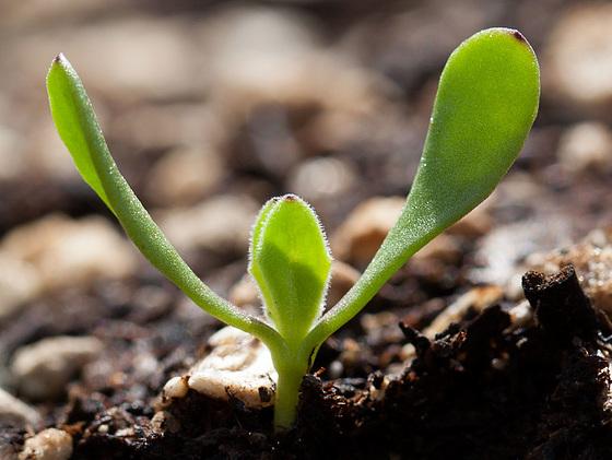 seedlingafricandaisy