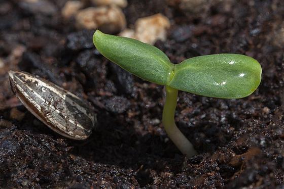 seedlingstripedsunflower