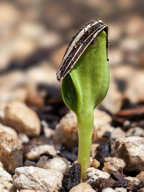 seedlingstripedsunflower2