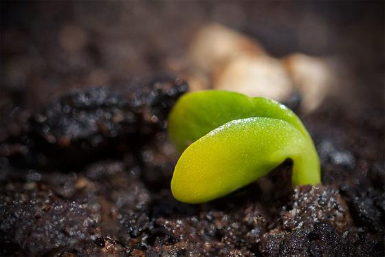 seedlinglupine