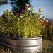 Metal Trough Planter Full of Sweet Williams