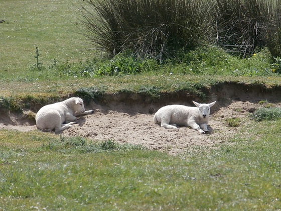 Some lovely little lambs having a sleep in the sand