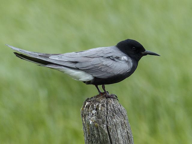 Black Tern on fence post