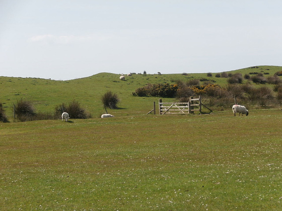The sheep graze next to the sea