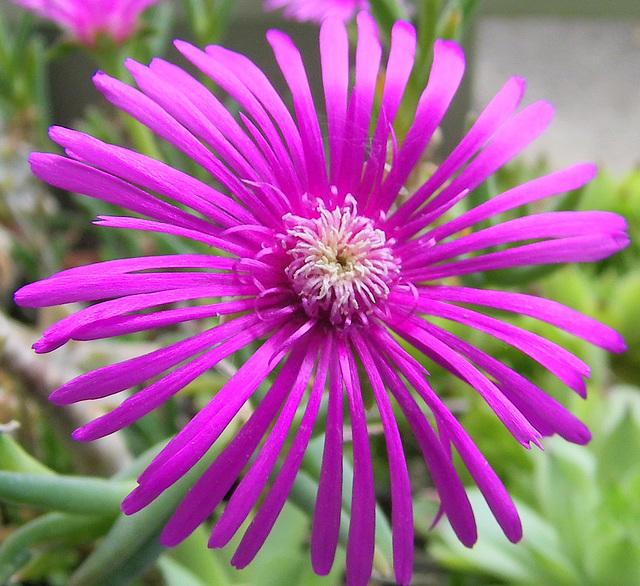 Fleur de pourpier