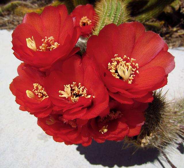 Cactus Flowers (2296)