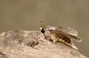 Lobster Moth