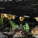 Sphaerobolus stellatus (Cannon-ball Fungus)