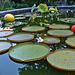 Giant Amazon Water Lily with Chihuly balls