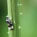 Endothenia gentianaeana