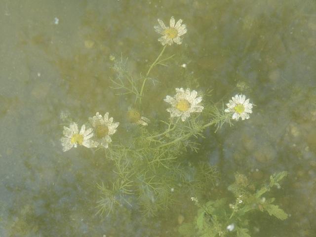 Unterwasser-Blumen