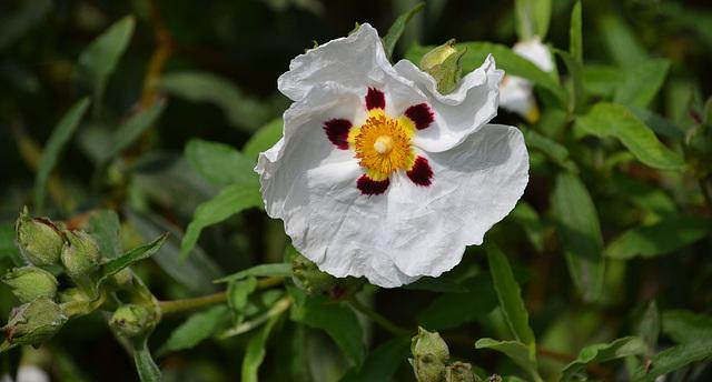 Cistus Maculatus - Rock Rose