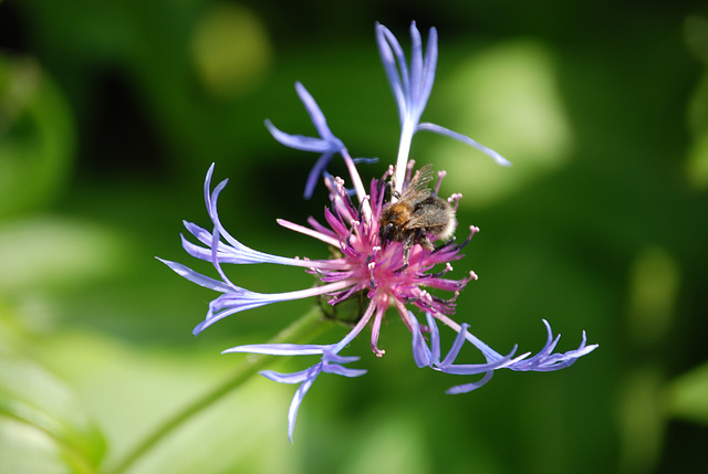 Cornflower...and bee.