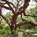 Tree at the Alamo