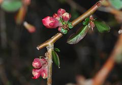 Dad's <strike>Azalea</strike> Flowering Quince