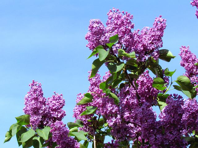 Le parfum des Lilas…..