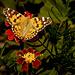 Schmetterling auf Studentenblume