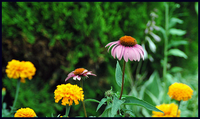 Coneflowers & Marigolds