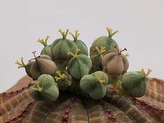 Euphorbia obesa - mit weiblicher Blüte und Samenkapseln