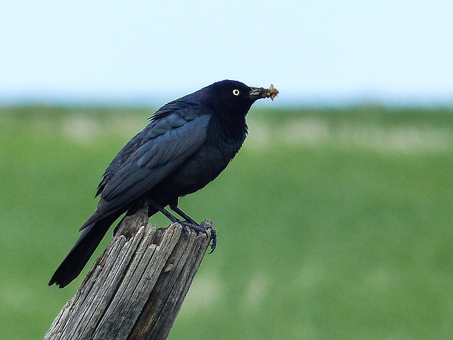 Brewer's Blackbird with food for his babies