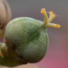 Euphorbia obesa - Samenkapsel